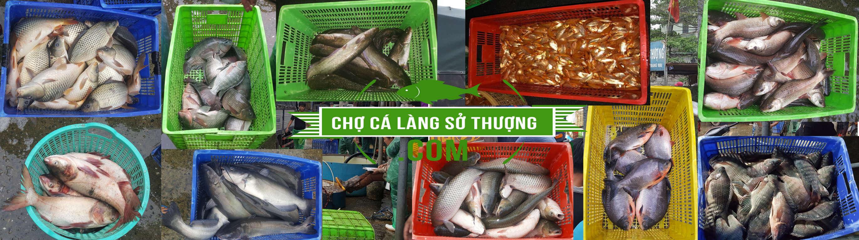 Cung cấp cá mè hoa tươi sống, cá mè tàu tươi sống, cá mè ngất, cá mè đông lạnh trên toàn quốc | Chợ cá làng Sở Thượng