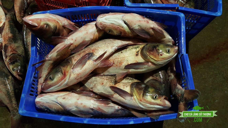 cá mè hoa, cá mè tầu, cá mè đầu to